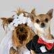 Two dogs dressed up in wedding attire.